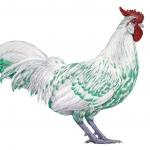 White Rooster  Koller    9800, 2/6/70, 4:36 PM,  8C, 6706x10586 (1332+852), 150%, SG Redfish Pol,  1/15 s, R76.8, G64.6, B78.2