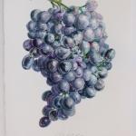 2014-WB-Grapes-WEB